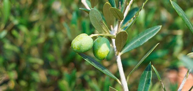 El MAPA prevé una producción de 1,62 millones de toneladas de aceite de oliva esta campaña, un 45% más