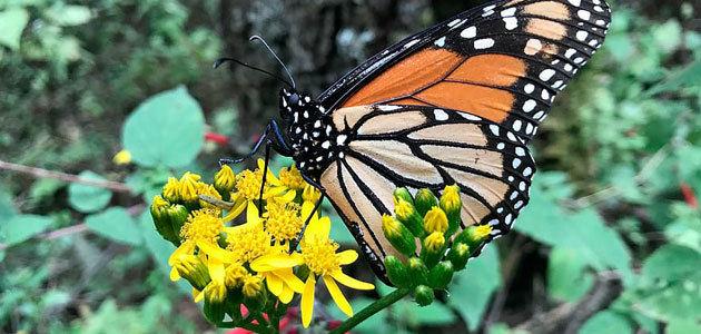 Los suelos con cubierta vegetal favorecen la diversidad de las mariposas en el olivar en pendiente