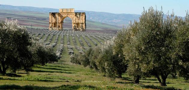 Marruecos alcanzará su pico de producción en diez años con 250.000-300.000 t. de aceite de oliva