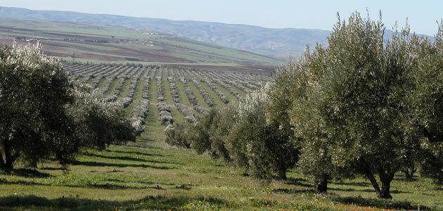 La superficie oleícola marroquí ha crecido un 63% en los últimos 15 años