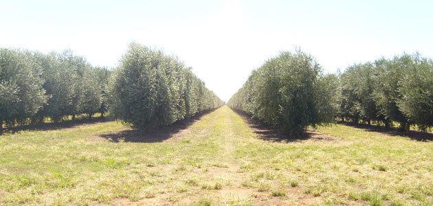 Explorar nuevas variedades y la convivencia del olivar tradicional con el olivar en seto, principales conclusiones del nuevo Momento Expoliva