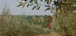 Nuevo récord de producción de aceitunas en Marruecos esta campaña