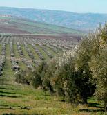 Meknès contará con una Fundación creada para impulsar su aceite de oliva