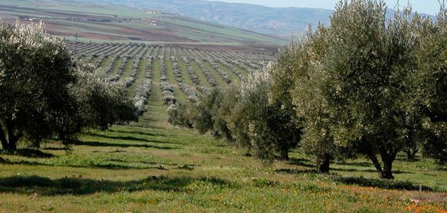 La Interprofesional Marroquí del Olivo busca reforzar su organización y garantizar una producción de calidad