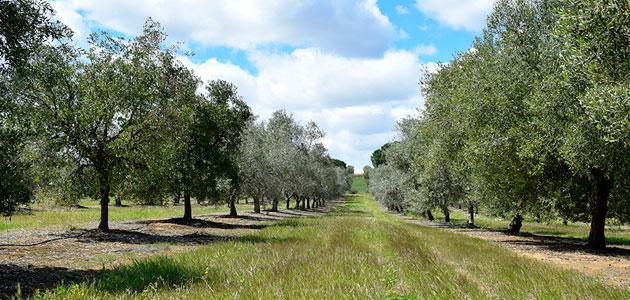 Desarrollan un modelo que predice el impacto del cambio climático sobre el olivar andaluz