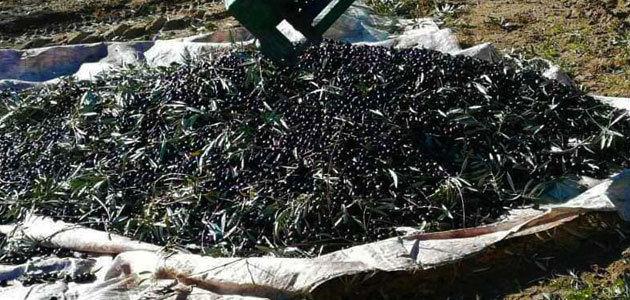 COAG-Jaén pide al Gobierno una rebaja de los módulos del olivar