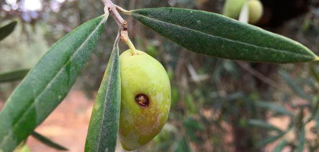Un estudio sobre el control de la mosca del olivo, galardonado por la Fundación Caja Rural del Sur