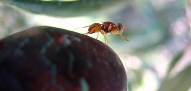 Mosca del olivo: situación fitosanitaria en Andalucía