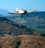 Continúa muy escasa la actividad de la mosca del olivo en Andalucía