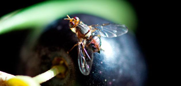 Un comité internacional investiga el impacto de introducir una mosca del olivo genéticamente modificada