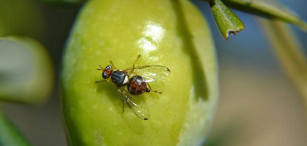 Estudian la comercialización del primer hongo para el control biológico de la mosca del olivo