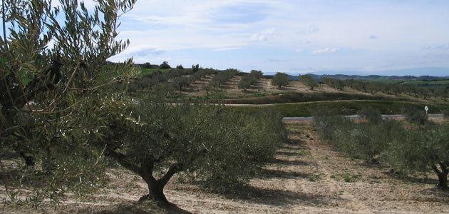 Un proyecto piloto para el control de la mosca del olivo en Navarra