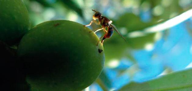 Seguimiento de la mosca del olivo en Andalucía