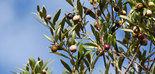 Una técnica molecular busca al candidato perfecto para acabar con la mosca del olivo