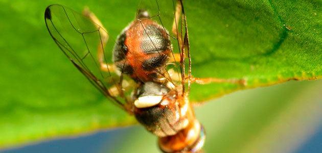 Las arañas y las tijeretas, principales candidatos para frenar a la mosca del olivo