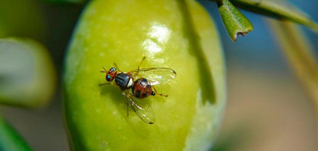 La UCO perfecciona una trampa automática para luchar contra la mosca del olivo
