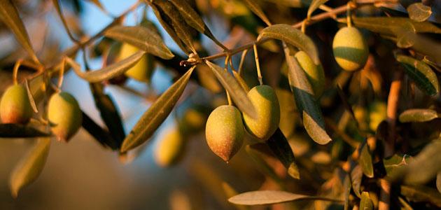 La campaña de aceite de oliva prosigue con un buen ritmo en la comercialización