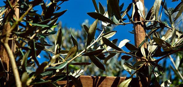 Crean el primer censo de organismos microscópicos que parasitan el olivar