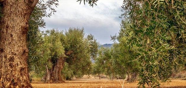 Picual, arbequina y manzanilla: las variedades españolas más eficientes en absorción de nitrógeno