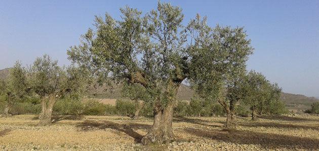 El 8,2% de la superficie mundial de olivar es de producción ecológica