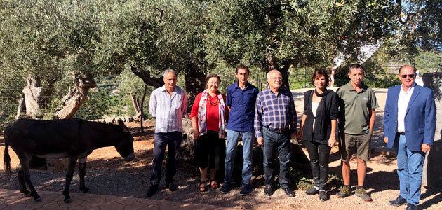 La DOP Oliva de Mallorca espera una cosecha de 50.000 kilos de aceituna de mesa