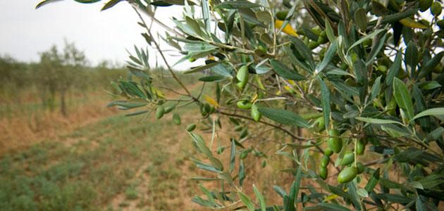 La producción europea de aceite de oliva se sitúa en 1,2 millones de toneladas hasta diciembre
