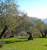 La producción asegurada de olivar se incrementa cerca de un 50% en el Plan 2015