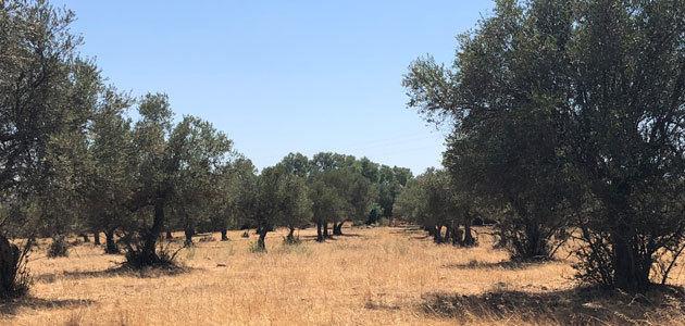 Casi el 5% del olivar español se encuentra en proceso de abandono, según un análisis