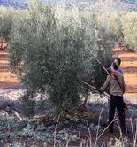 UPA, satisfecha con las ventas de aceite de oliva