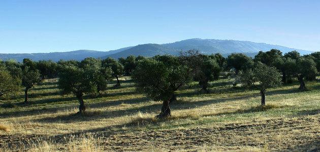 La superficie asegurada de olivar se ha situado en 180.780 hectáreas en la campaña 2018/19