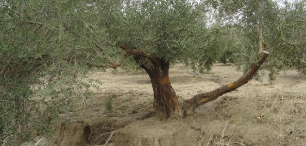 El cultivo del olivo ante el cambio climático