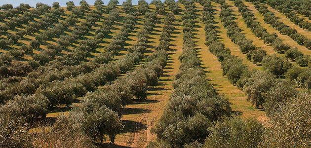 Un seminario analizará las acciones integradas contra la Xylella fastidiosa para la protección del olivar y el comercio internacional