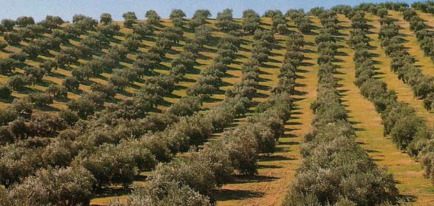 Andalucía concede 21 millones de euros de nuevas ayudas al sector del olivar