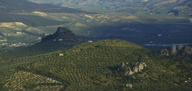 El olivar, objeto del estudio empírico del subproyecto ConNecta en Andalucía