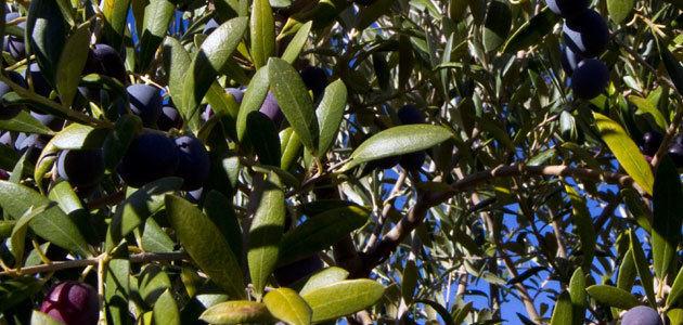 El olivar de Arganda y Campo Real, afectado por las fuertes precipitaciones del pasado 26 de agosto