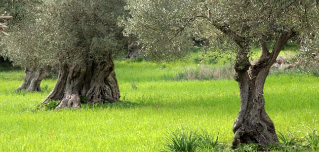 La superficie mundial de olivar ecológico ha aumentado un 180% desde 2004