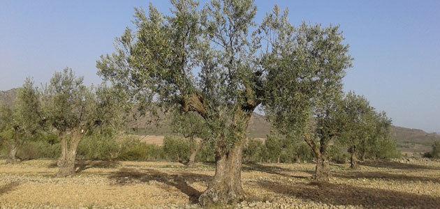 La superficie cultivada de olivar ecológico en España aumentó un 4,57% en 2019