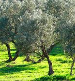 El olivar, en el Top de los cultivos ecológicos de la UE