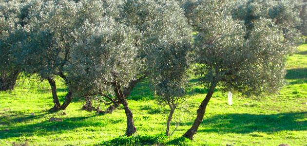 El olivar continúa liderando la superficie dedicada a cultivos ecológicos en Andalucía con 79.761 ha.