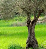 Un compuesto orgánico ayuda a enraizar los olivos ecológicos