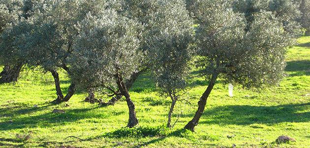 El 8,4% de la superficie mundial de olivar es de producción ecológica