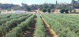 Ensayo de variedades de olivar en seto en Extremadura
