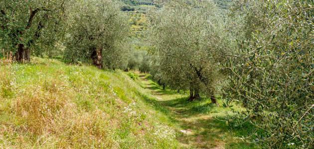 El precio de la tierra de olivar cayó un 0,6% en 2016
