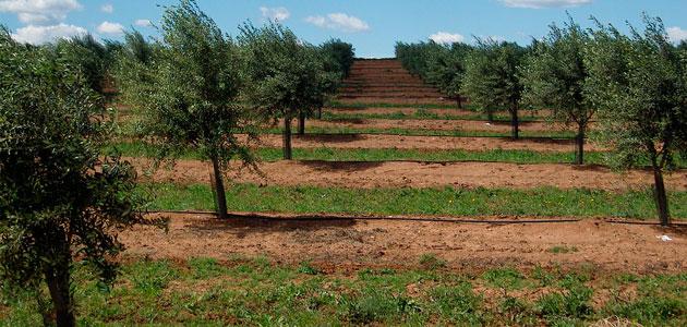 Solidez de los precios y crecimiento exponencial del olivar superintensivo, claves del 'Informe Caja Rural de Jaén sobre Coyuntura para la Olivicultura'