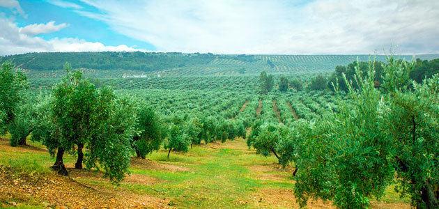 Cooperativas prevé un descenso de 100.000 t. en las estimaciones de producción de aceite de oliva a nivel nacional