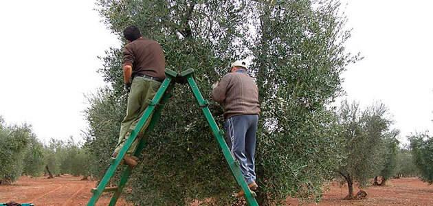 Abierto el plazo de solicitud de las ayudas a la modernización del olivar en Extremadura