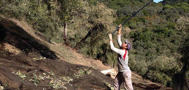 El olivar de montaña y sus aceites serranos