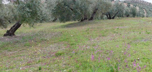 """""""Olivares Vivos"""" subraya la importancia de la cubierta herbácea para conservar el suelo del olivar"""