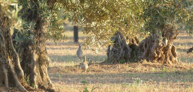 ¿Puede ser rentable la biodiversidad en el olivar? A debate en una jornada de SEO/BirdLife