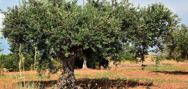 Estados Unidos, Brasil y Japón, principales destinos del aceite de oliva europeo en el primer semestre de campaña